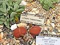 Lithops dinteri - University of California Botanical Garden - DSC08860.JPG