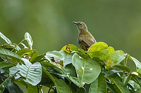 Description de l'image Little Grey Greenbul - near Kakum NP - Ghana 14 S4E2909 (15581406844).jpg.
