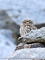 Little Owl (Athene noctua) (40409596370).jpg