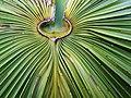 Livistona australis 44273081951 7c6df6e73d o.jpg