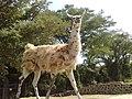 Llama o alpaca moteada en el Zoofari, Cuernavaca, Morelos.jpg