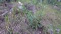Lomatia silaifolia (16092712406).jpg