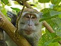 Long-tailed Macaque (Macaca fascicularis) (8217712282).jpg