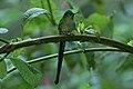 Long-tailed Sylph (Aglaiocercus kingii) 2015-06-16 (6) (38520328070).jpg