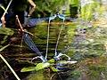 Long banded Bluetail (Archibasis oscillans) (20397926071).jpg
