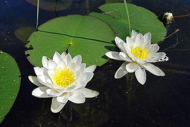 Картинки лилия водяная