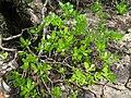 Lumnitzera racemosa (flowering) - Kung Krabaen, Chantaburi province, Thailand.JPG