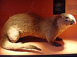 Lutra lutra.001 - Natural History Museum of London.JPG