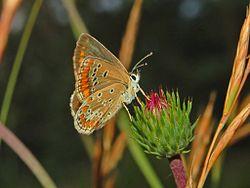 Lycaenidae - Aricia agestis.JPG