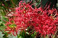Lycoris Radiata ヒガンバナ (123945689).jpeg