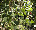 Lysiphyllum carronii foliage.jpg