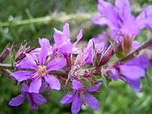 LythrumSalicaria-flower-1mb.jpg