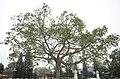 Một cây cổ thụ ngoài cổng nghĩa trang liệt sỹ Hải Dương, trên đường Chương Dương, thành phố Hải Dương, tỉnh Hải Dương.jpg
