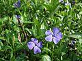 MOs810 WG 15 2016 (Pyzdry Forest II) (Michalinow Olesnicki, old ev. cemetery) flowers.JPG