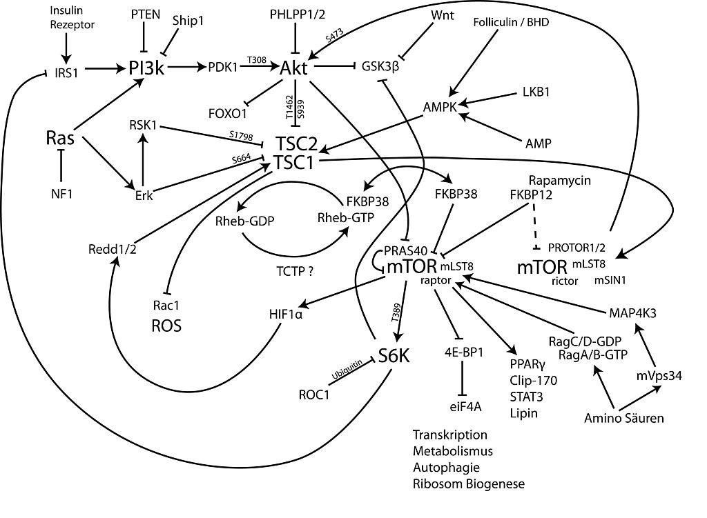File:MTOR-pathway-ger.jpg - Wikimedia Commons
