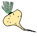 Maca (Lepidium meyenii).png