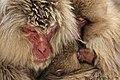 Macaca Fuscata, also known as Japanese Snow Monkeys, in Jigokudani, Yudanaka, Japan 10.jpg