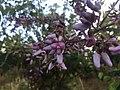 Machaerium amplum - Fabaceae - arbusto escandente espinescente 05.jpg