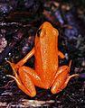 Madagascan Golden Frog (Mantella aurantiaca) (7636759836).jpg