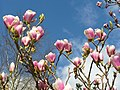 Magnolia Flowers - geograph.org.uk - 751436.jpg