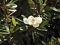 Magnolia grandiflora flower.jpg