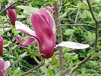 Magnolia liliiflora0.jpg
