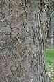 Magnolia sprengeri 'Diva' Bark Vertical.JPG