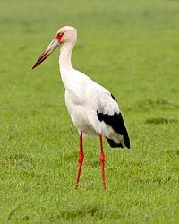 Maguari Stork (Ciconia maguari).jpg