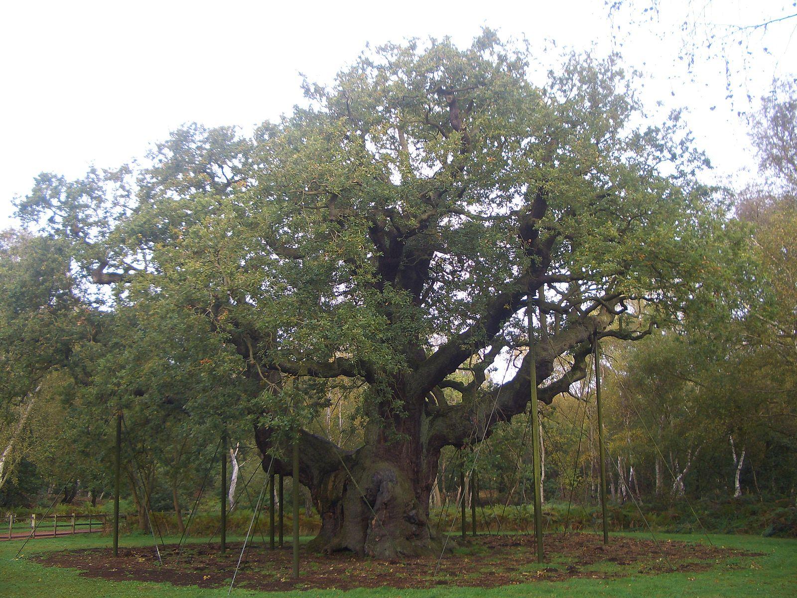 File:Major Oak.JPG