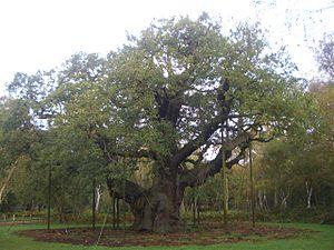 Sherwood Forest - The famous Major Oak in October 2012