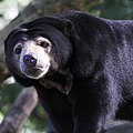 Malayan sun bear at Burgers Zoo.jpg