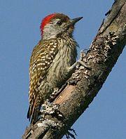 Male Cardinal Woodpecker (Dendropicos fuscescens).jpg