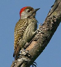Male Cardinal Woodpecker (Dendropicos fuscescens)