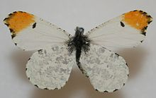 Male Falcate Orangetip Megan McCarty15.jpg