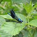 Male banded demoiselle (Calopteryx splendens), Sandy, Bedfordshire (34447457874).jpg