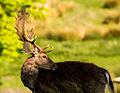 Male fallow deer with palmate antlers turning head.jpg