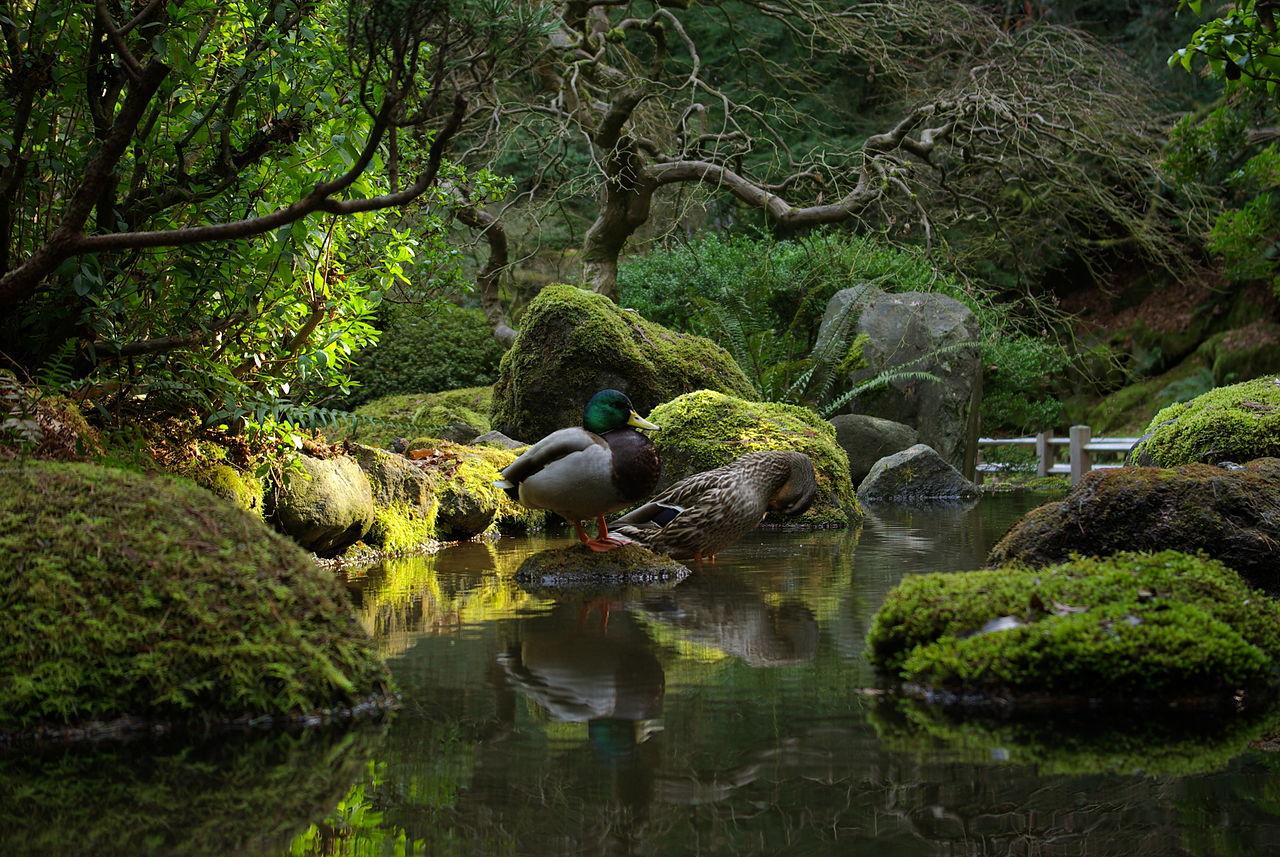 File Mallard Ducks Japanese Gardens Portland Oregon Jpg