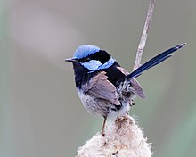 a small long-tailed vivid pale blue and black bird perched among some grasslike vegetation