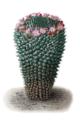 Mammillaria carnea pm.png