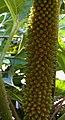 Mammoetblad vrucht (gunnera manicata).jpg