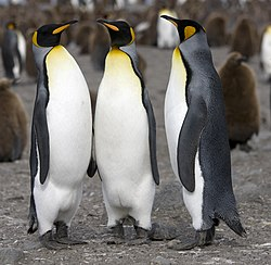 pingvin alder