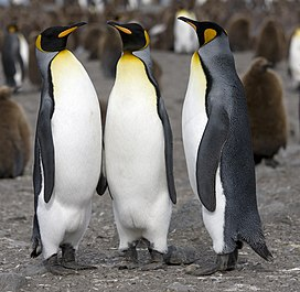 Manchot royal - King Penguin.jpg