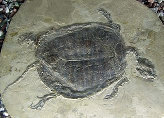 Cryptodira - Manchurochelys liaoxiensis was a member of Sinemydidae.