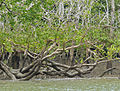 Mangrove (Sonneratia sp.) (15849524361).jpg