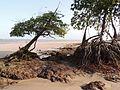 Mangue na Praia de Soure, Marajó - PA.JPG
