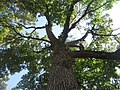 Maple tree in Ferndale's Pioneer Park (14768261021).jpg