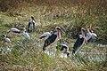 Marabous and storks in Moremi Game Reserve - Botswana - panoramio.jpg