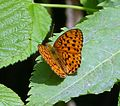 Marbled Fritillary - Flickr - gailhampshire.jpg
