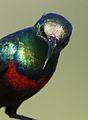 Marico sunbird, Cinnyris mariquensis at Mapungubwe National Park, Limpopo, South Africa (29431201084).jpg