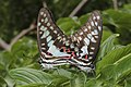 Mating pair of Graphium doson Felder & Felder, 1864 – Common Jay.jpg